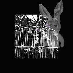 it's only a rose in an un-gilded cage.... (bunchadogs & susan [mostly off]) Tags: birdcage rose bunny fortunacalifornia iphone provokecameraapp