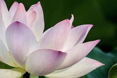 Lotus Close-Up 3-0 F LR 7-17-16 J213 (sunspotimages) Tags: flowers flower lotus nature