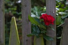 ckuchem-2755 (christine_kuchem) Tags: blte holzzaun lattenzaun rose skaketenzaun staketen tor zaun romantisch rot