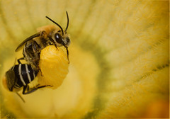 Abejas / Bees (elrayman210) Tags: abejas macro yellow insect bees bee amarillo abeja supermacro insecto