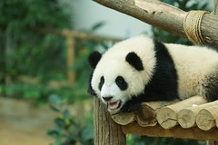 10-month-old (almost) Nuan Nuan () 2016-06-17 (kuromimi64) Tags: bear zoo panda malaysia nationalzoo kualalumpur giantpanda   zoonegara       nuannuan selangordarulehsan  zoonegaramalaysia