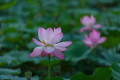 160714_Lotus (san_neoul) Tags: