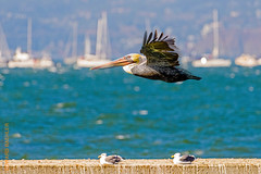 Fleet Week SF (Edi Bähler) Tags: bay california fleetweek gewässer hotpick kalifornien lagune militär natur pelikan sanfrancisco usa unitedstates vogel nature outfleetweek waters nikond810 200500mmf56