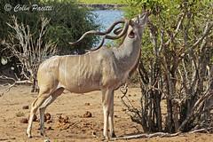 greater kudu6 (tragelaphus strepsiceros) (Colin Pacitti) Tags: greaterkudu tragelaphusstrepsiceros kudubull kudu horns feeding browsing antelope mammal wildanimal animal outdoor choberiver botswana fantasticwildlife coth coth5 hennysanimals ngc sunrays5 npc