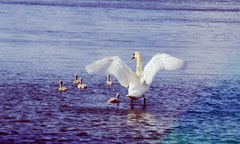 (uneuje) Tags: water swan