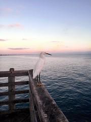 #bird #water #waves #beach #wings #white #blue #pink #sunset #ocean #summer #harbor #dock #pier #wooden #night #animal (kassidyclark) Tags: bird water waves beach wings white blue pink sunset ocean summer harbor dock pier wooden night animal