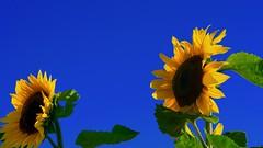 sunflower - a very good day (Yasmine Hens) Tags: blue flower fleur yellow jaune europa flickr belgium bleu sunflower tournesol blum namur hens bloem yasmine wallonie hensyasmine