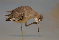 Copy That (kathybaca) Tags: animal animals bird birds nature beach willet wading shore sand florida aves wildlife world planet ocean sea inlet feathers itch
