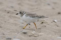 Piping Plover -2517 (RG Rutkay) Tags: darlingtonprovincialpark lakeontario pipingplover beach bird nature wader juvenile rare protected endangered