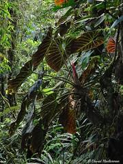 Planta enorme de Philodendron verrucosum en el departamento del Valle del Cauca, a 2200 m snm, fotografiada durante un tur de observacin de orqudeas que he guiado para Ecotone tours. Colombia (David Haelterman) Tags: colombia colombie nature naturaleza amriquedusud sudamerica southamerica americadelsur insitu valle vallledelcauca philodendron verrucosum philodenndronverrucosum araceae arace arcea aroid wilderness ecotourism ecotourisme ecoturismo ecotone tour ecotonetours forest bosque foret foretdebrouillard cloudforest bosquedeniebla bosquenuboso filodendro tropique tropicos tropics