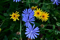 Cichorium Intybus & wild flowers,  ,  (),  DSC_0005 (Me now0) Tags: d5300effectssilhouette nikond5300 basiclens europe 1855mmf3556 park wildflowers 5300       cichoriumintybus