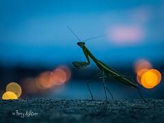 Praying Mantis Twilight (Terry Aldhizer) Tags: praying mantis twilight dusk bug insect sky bokeh city roanoke cute terry aldhizer wwwterryaldhizercom