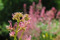 .. Ne sanattır ki, her şey, her şeyi peçelemiş... (photographerofearth) Tags: blossom pink bokeh çiçek tomurcuk pembe foliage cluster 1200d nfk