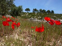 Travessera roja (.carleS) Tags: flors flores caeduiker panasonic lumix gf3 vall de gallinera rosella amapola