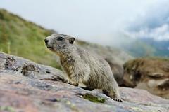 marmot (welenna) Tags: alpen alps animals tiere marmot murmeltier saasfee