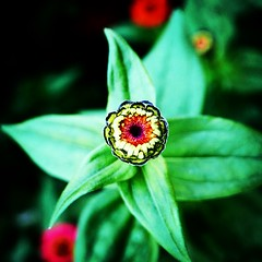 Zinnia (ordinarynomore) Tags: zinnia flora flower nature