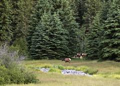 Elk 5 (nicoangleys) Tags: tetons grandtetonsnp nationalpark wyoming jacksonhole schwabacherslanding
