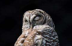 Taking a cat nap... (knoxnc) Tags: nikon feathers nature owlcallformating dietofbirdsandsmallmammals napping outisde barredowl easternusandcanada d7200 monogamous