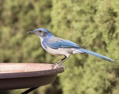 California Scrub Jay (Newbie 2 Canon (Shari)) Tags: california scrubjay aphelocomacalifornica front yard birding contra costa county canoneos7dmarkii canonef100400mmf4556lisiiusmlens shari ortiz photography pscc2015 2016