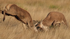 Full-tilt (Hammerchewer) Tags: reddeer deer stags wildlife outdoor