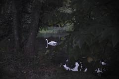 Glooming (colour) (mag_mouse) Tags: swan trees lake dusk rosebrufordcollege