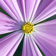 Stamen of Cosmos Flower (Johnnie Shene Photography(Thanks, 1Million+ Views)) Tags: stamen cosmos flower flora floral square photography outdoor colourimage fragility freshness nopeople foregroundfocus center centric bright luminosity summer day lighteffect plant macro closeup magnified adjustment halflength nature natural wild wildlife livingorganism tranquility tranquilscene interesting awe wonder pink yellow topdeck view korea paju canon eos600d rebelt3i kissx5 sigma apo 70300mm f456 dg zoom lens     chrysanthemum