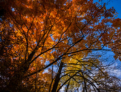 the fire inside (muskokaTIMe) Tags: maple tree orange backlit voigtlander heliar15mm autumn fall