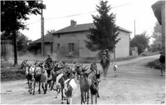 Image d'autrefois... (nicéphor) Tags: chèvres agriculture élevage troupeau bergers paysan campagne paturage anmaux ferme bw noiretblanc
