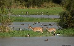 Paradis (Enllasez - Enric LLa) Tags: aiguamollsdelemporda patos daines animals animales 2016 catalunya