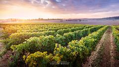 Lev de soleil sur les vignes du Vron (Jean-Christophe Coutand Mheut) Tags: chinon paysage vignes vin vins vron wine aoc landscape touraine loire valley vendanges