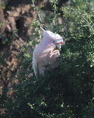 Major Mitchell's Cockatoo (boombana) Tags: cockatoo majormitchellscockatoo 2016 lophochroaleadbeateri lophochroa