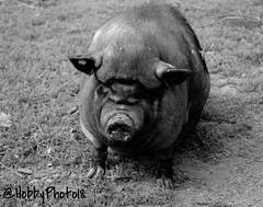 Omnivore (hobbyphoto18) Tags: omnivore cochon porc black noir fermevernaelde fermepdagogique animal groin coudekerquebranche france nordpasdecalais hautsdefrance pentaxk50 k50 pentax monochrome monochrom extrieur blackandwhite blacknwhite bw nb noiretblanc