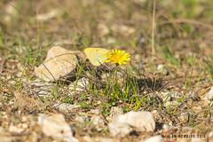 Clouded Yellow 1DX12668.jpg (alanmcbride1) Tags: france occitanie gruissan languedoc rocdeconhillac butterflies butterfly cloudedyellow aude coliuscrocea
