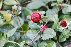 Wild Strawberry (benjaminfuchs) Tags: red wild berrie 18250 sigma macro eos canon