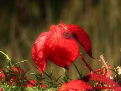 Autumn..x (lisa@lethen) Tags: autumn bramble leaf red colour bokeh sunlight nature