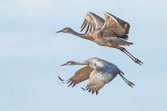Sandhill Crane (X68_8886-1) (EricLuSF) Tags: sandhillcrane crane bird lodi california
