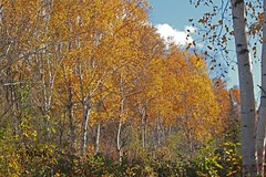 Transition (N.Clark) Tags: fallleaves birchtreesinfall transition fallfoliagecolourtransition trees birchtrees manitoba interlakeregion canada borealforest forest autumn fall goldenleaves landscape
