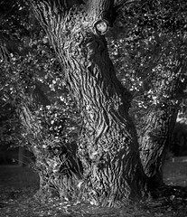 (PlainJK) Tags: bw film pan f plus pentax 6x7 stand developement tree cottonwood