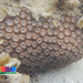 Moon coral (Diploastrea heliopora)