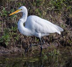 _AAB6176.jpg (Lake Worth) Tags: bird nature birds animal animals canon wings florida wildlife feathers wetlands everglades waterbirds southflorida 2xextender sigma120300f28dgoshsmsports