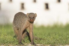 namibia_trip-407 (s4rgon) Tags: nature animals tiere natur namibia mongoose etoshanationalpark mangusten namutonicamp