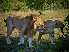 Dance2 .Keniya .Afrika (mariya_ka) Tags: nature nikon lion safari afrika masaimara keniya