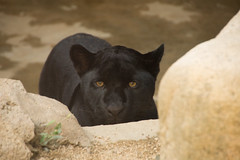 / Black Pantehr (kimtetsu) Tags: animal japan zoo kobe   blackpanther     ojizoo