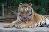 Tiger (ray2pixel) Tags: nikon tiger korea safari themepark everland 2014 d610