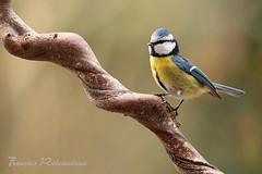 Msange bleue (fribodo) Tags: bird oiseaux msanges