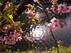 brighting surface and sakura blossom (gemapozo) Tags: japan river 645 pentax 日本 smc shizuoka f28 45mm kawadu さくら 静岡県 河津桜 pentaxa 賀茂郡 smcpentaxa64545mmf28 645z