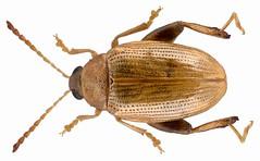 Psylliodes marcidus (Illiger, 1807) (urjsa) Tags: france insect frankreich europa europe beetle insekt kfer coleoptera kaefer chrysomelidae taxonomy:order=coleoptera taxonomy:family=chrysomelidae geo:country=france coleopteraus psylliodes taxonomy:genus=psylliodes marcidus psylliodesmarcidus taxonomy:binomial=psylliodesmarcidus taxonomy:species=marcidus