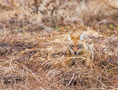 Coyote (Mike Matney Photography) Tags: coyote nature animal rural canon midwest december missouri 2014 columbiabottoms pretador eos7d
