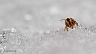 Dicyrtomina ornata auf Eis und Schnee (Kugelspringer) collembola