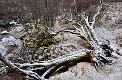 the end of one life (monospeter) Tags: winter snow tree nature forest scotland log nikon riverside strom fa h tl d7000